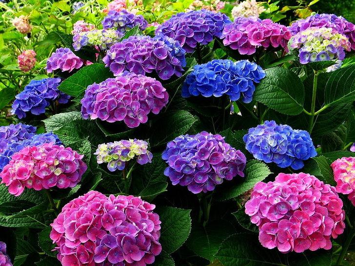 Разноцветные соцветия гортензии. Голубые, розовые, фиолетовые цветы гармонично перекликаются между собой.
