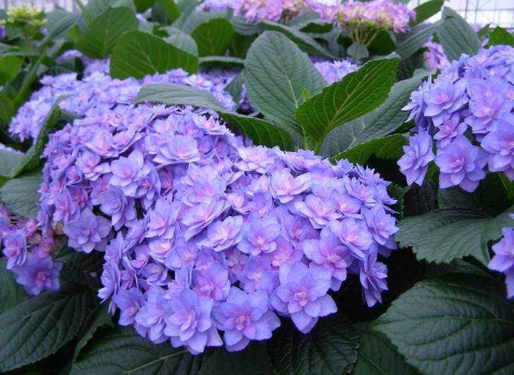 Фиолетовая гортензия сорт махровая.