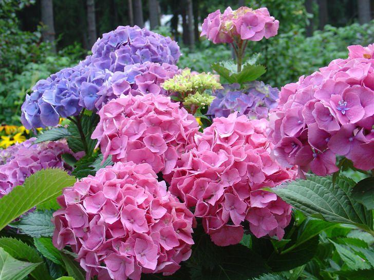 Нежно-розовые и бледно-фиолетовые соцветия - фавориты среди современных садовников.