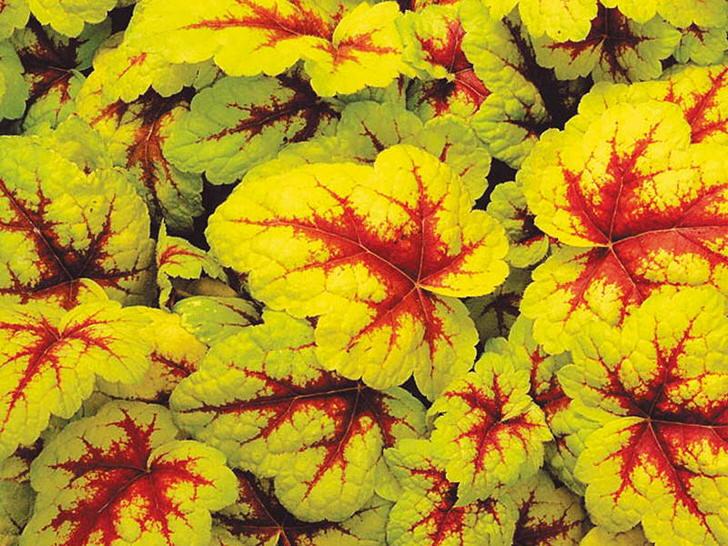 Цветок гейхера в ландшафтном дизайне