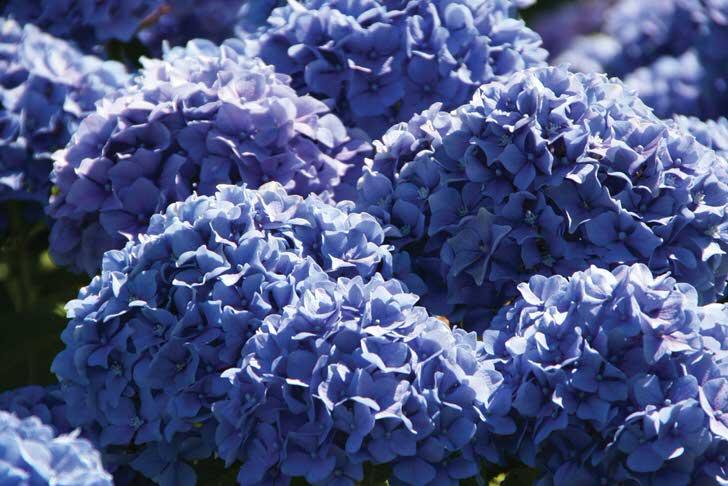 Фиолетовые цветы садовой гортензии собраны в объемные, пышные соцветия округлой формы.