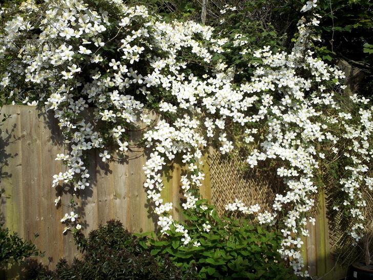 Цветы клематисы белого цвета на дачном заборе.