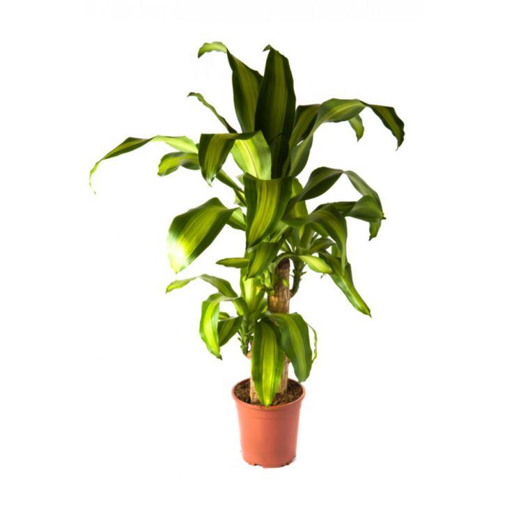 Широкие листы драцены делают ее похожей на пальму.