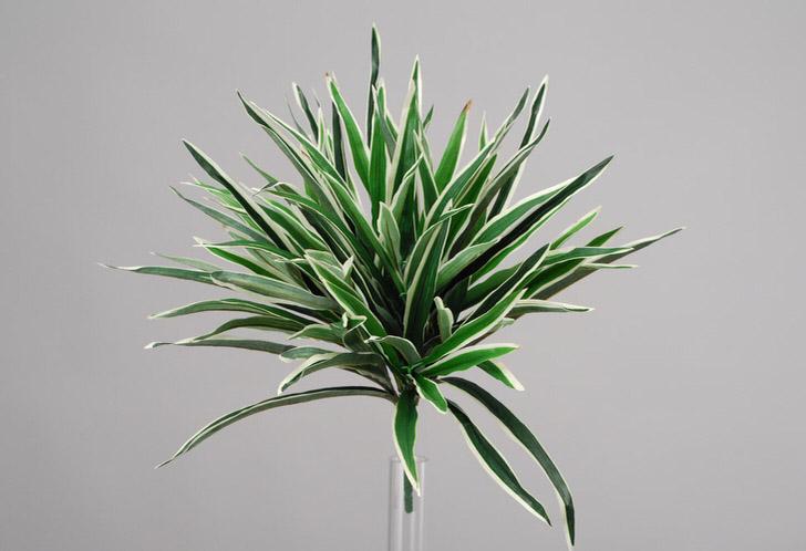 Бело-зеленые листья драцены пользуются популярностью среди современных садоводов.