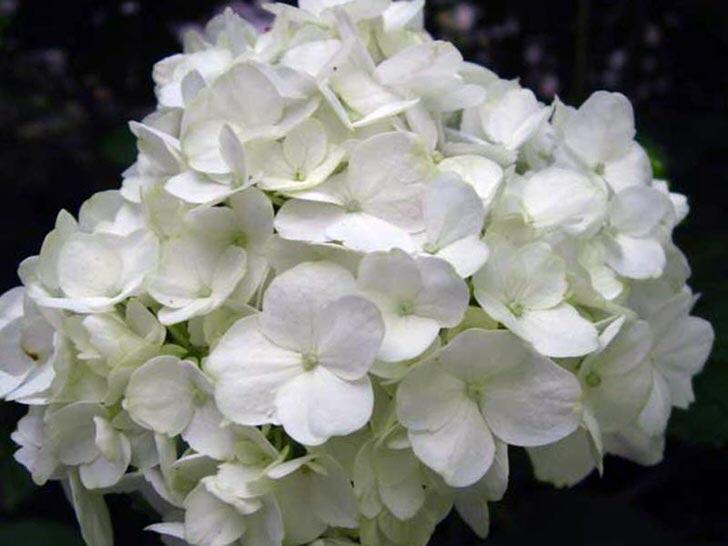 Соцветие белоснежной гортензии