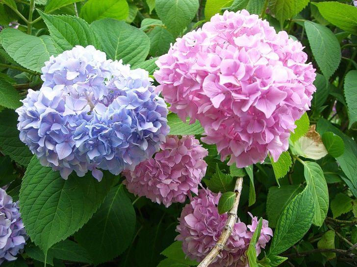 Гортензия садовая во дворе