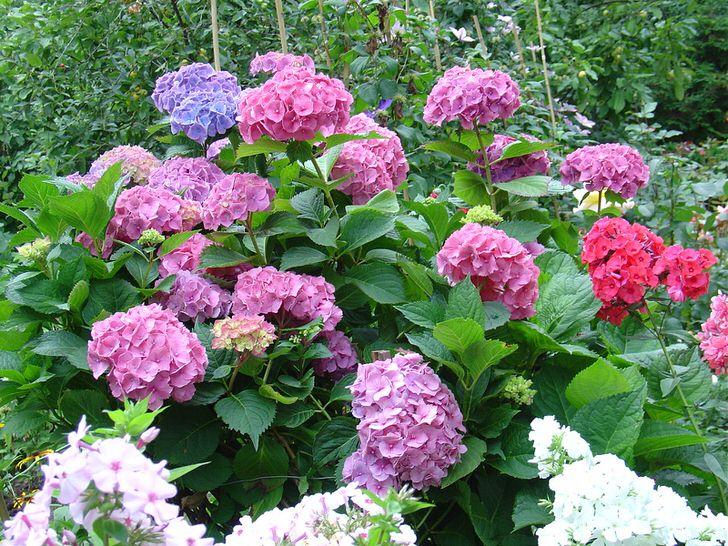 Садовая гортензия с бутонами классической формы. Пример правильно ухоженного цветка.