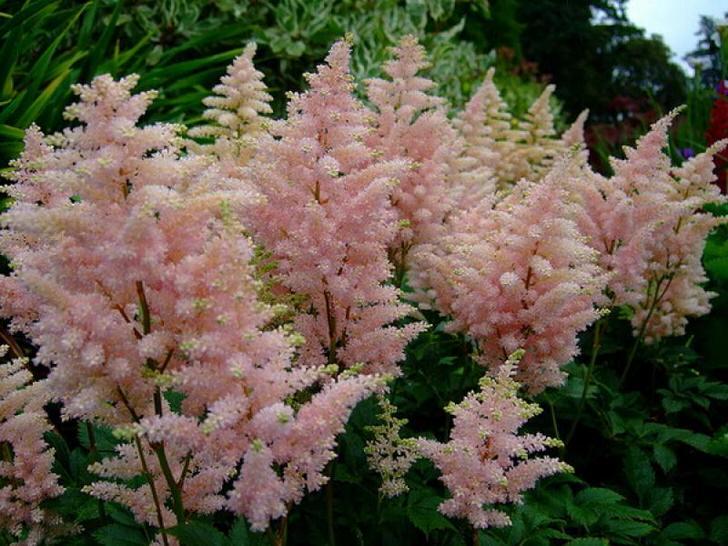 Бледно-розовая астильба - изящный цветок. Нежные бутоны контрастно смотрятся на фоне зелени.