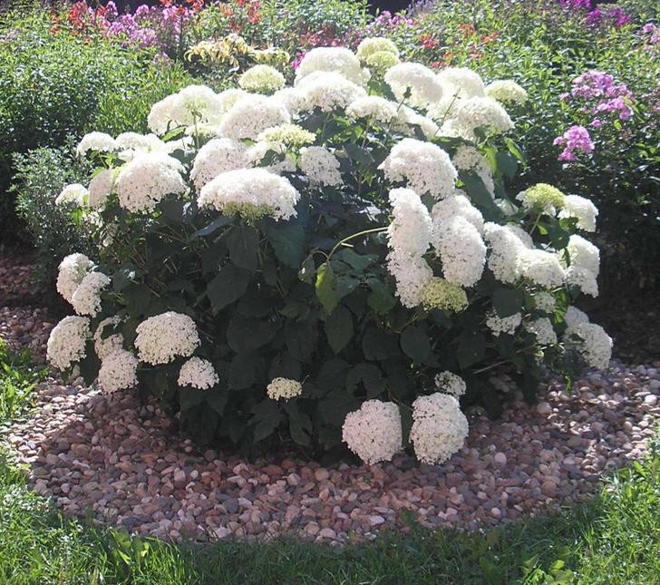 Крупные бутоны белых цветов удачно оформлены в клумбу, которая по краю усыпана обычной галькой. Простое и одновременно оригинальное выполнение - удачное украшение для двора дома.