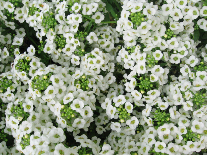 Соцветия белоснежного алиссума