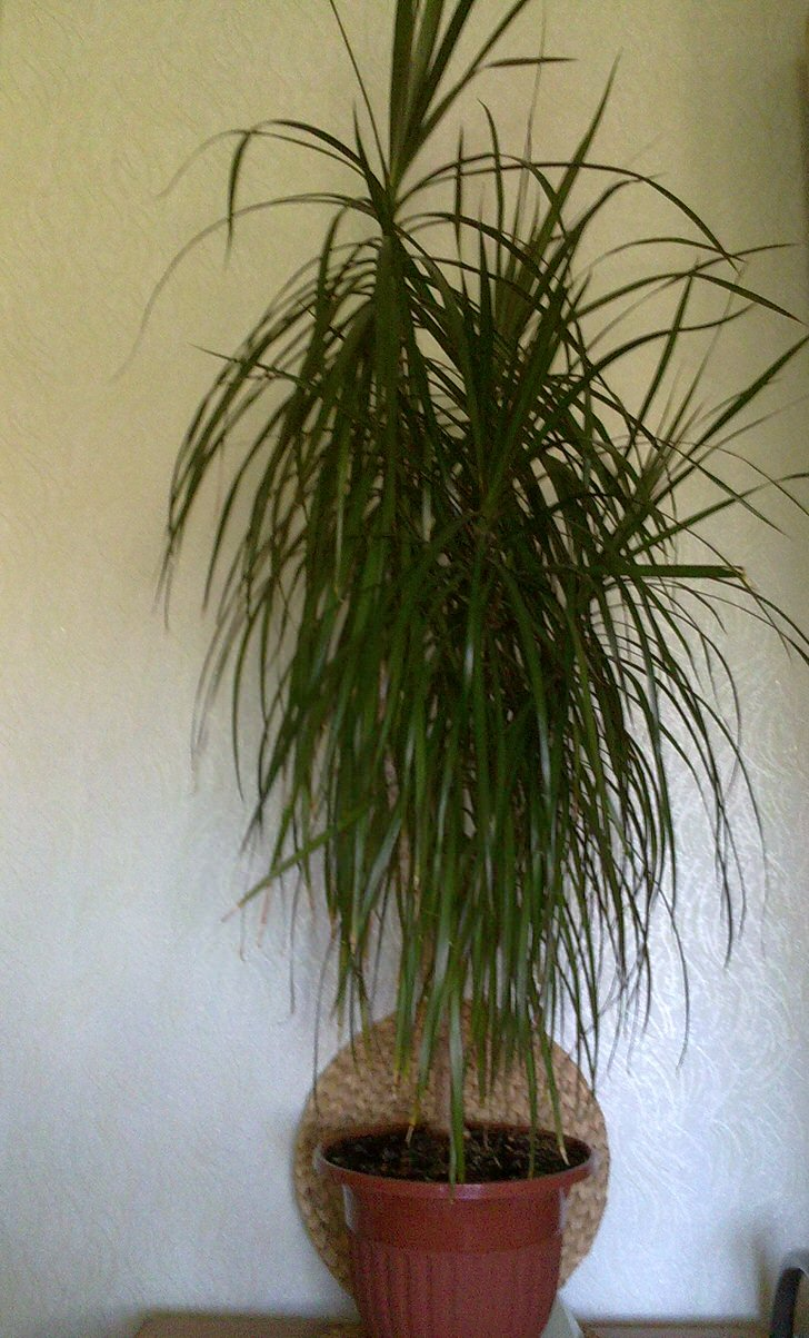 Драцена виды описание и фото  Комнатные растения цветы