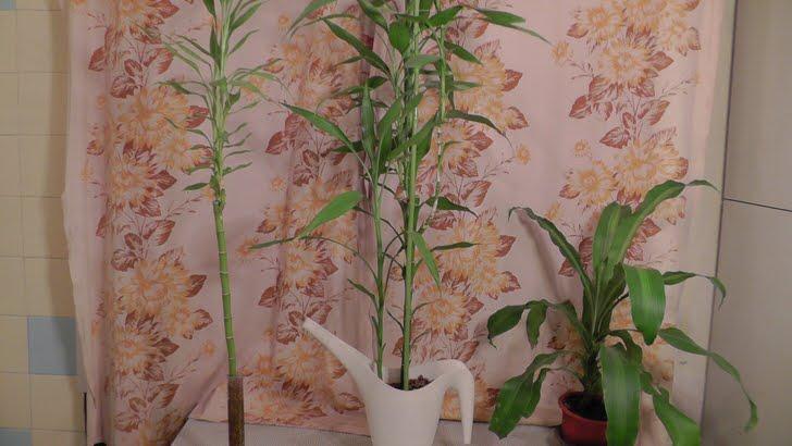 Драцена сандера высажена в горшках. Растение интересно тем, что может произрастать и без грунта.