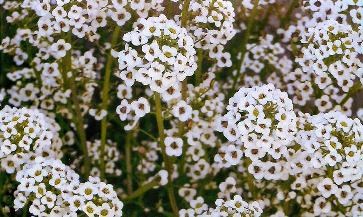 Нежные цветы алиссума украсят любой дачный участок.