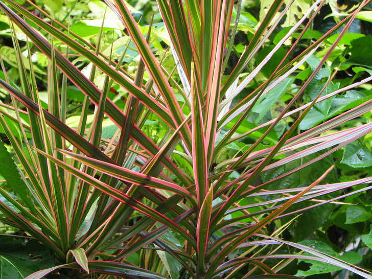 Бледно-розовая окантовка листьев драцены изящно смотрится в саду среди других растений.