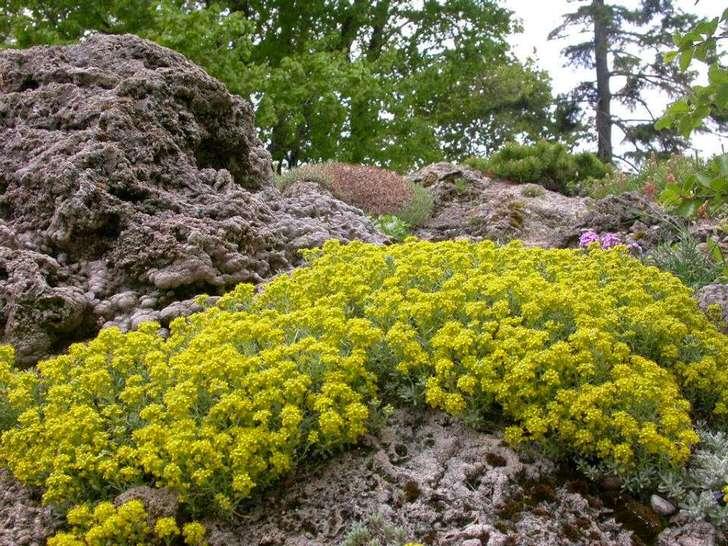 Цветы алиссума скального
