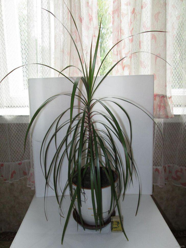 Узкие листы драцены окаймленной похожи на листы пальмового дерева.