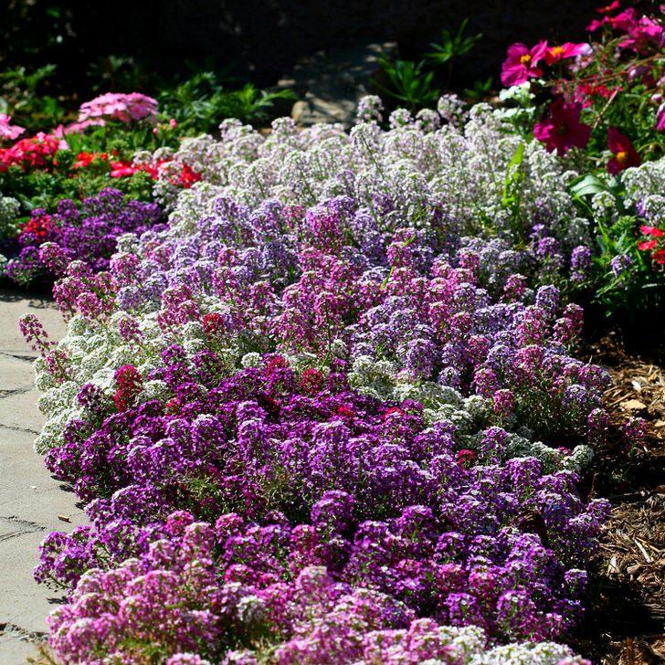 алиссум фото цветы