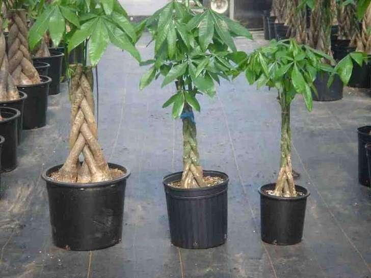 Переплетенные стебли драцены