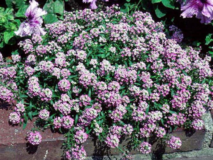Цветы алиссума многолетнего