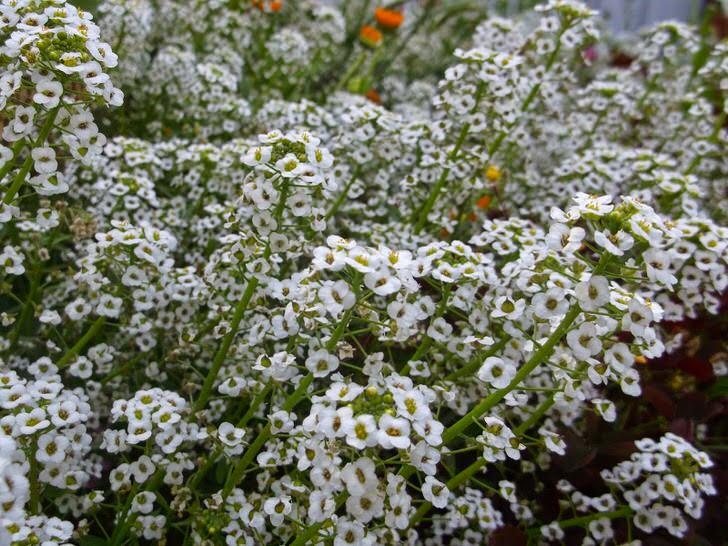 Множество белых цветов