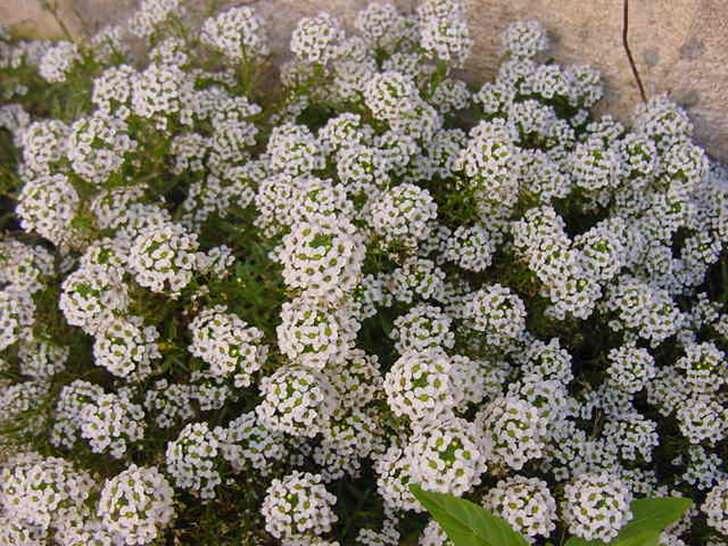 Алиссум многолетний посажен по-над домом. Тонкий дизайнерский замысел воплощен с использованием белых соцветий.