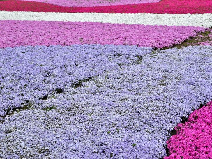 Популярным вариантом оформления приусадебного участка становятся ковры из флокса. Одновременно для составления композиции могут быть использованы соцветия разных цветов.