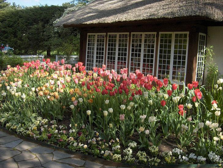 Тюльпаны во дворе дома