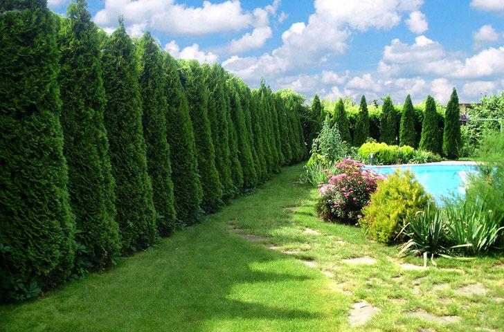 Яркий пример стены из высоких, пирамидоидальных деревьев отгородившую хозяев виллы с бассейном от назойливых папарацци.