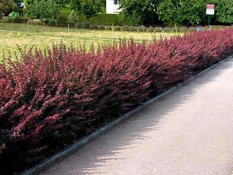 Кусты барбариса используются в ландшафтном дизайне для создания плотной живой изгороди.
