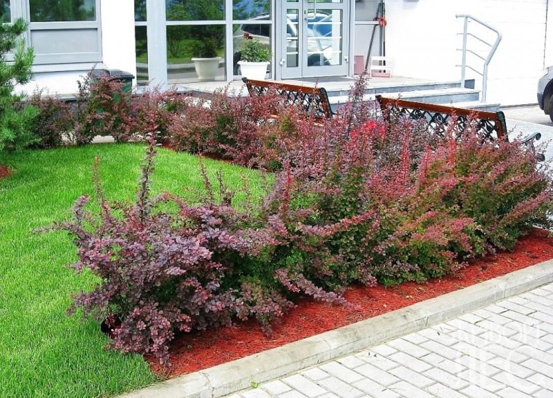 Пример оформления газона кустами барбариса.