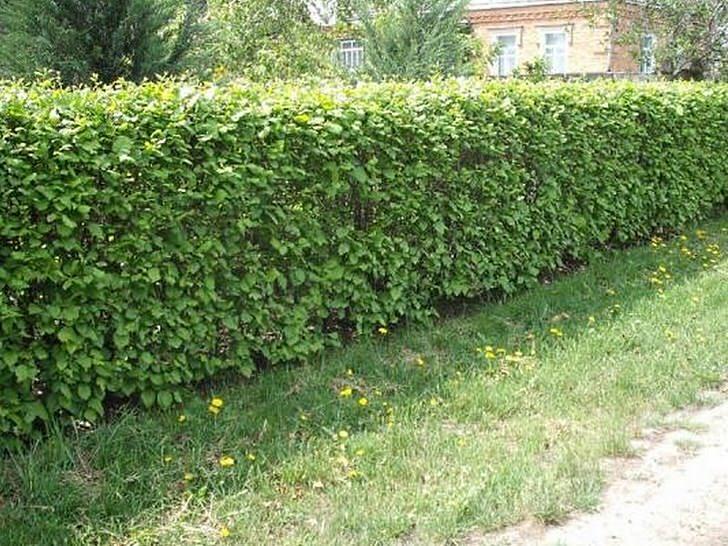 Для создания естественной живой изгороди применяются кустарники спиреи(таволга), курильский чай(лапчатка), барбарис, шиповник.