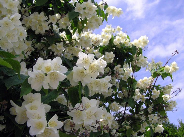 Жасмин - кустарник семейства маслиновых с белыми звездообразными цветами. Родиной жасмина считаются Аравия и Восточная Индия.