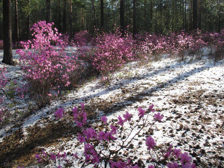 Удивительная картина цветения кустарника рододендрона ранней весной.