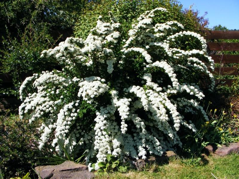 Спирея Вангутта как плакучая ива примечательна раскидистыми, дугообразными изгибающимися вниз ветвями. Спирею Вангутта относят к весеннецветущим. Цветёт несколько недель.