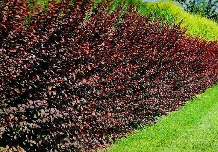 Красивая живая изгородь из барбариса.