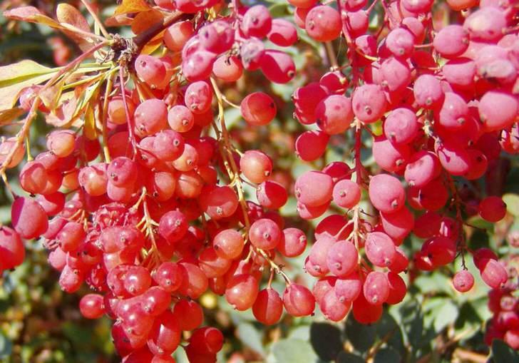 Так красиво выглядят чудесные гроздья барбариса. И знатная приправа для плова всегда под рукой.
