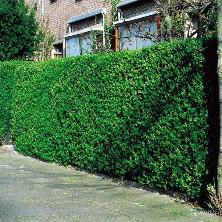 Бирючина обыкновенная сохраняет зелёную листву до поздней осени.