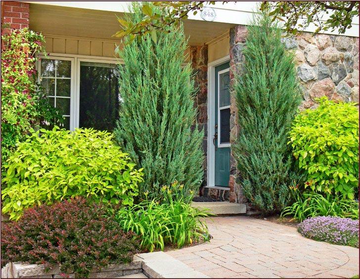 Высокие кусты тёмно зелёного можжевельника любимая фишка для ландшафтного дизайна.
