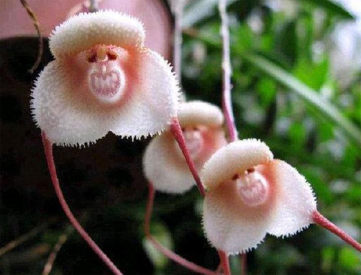 Вот такие причудливо-безобразные цветки одного из видов орхидеи можно повстречать на берегах Амазонки. Орхидея-Дракула обезьяна.