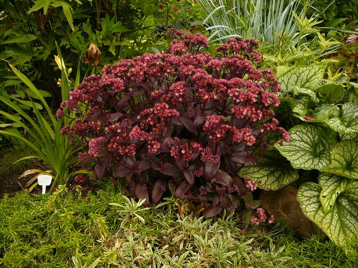 Любимый садоводами и ландшафтными дизайнерами очиток пурпурный с насыщенным цветом соцветий и листьев.
