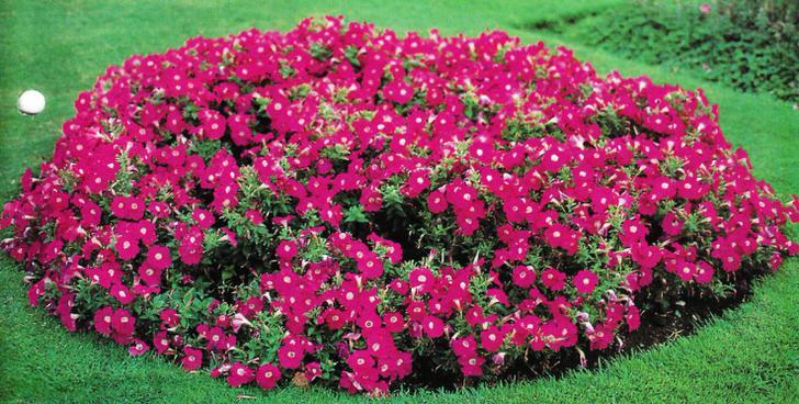 Островок красной петунии на зелёном газоне.