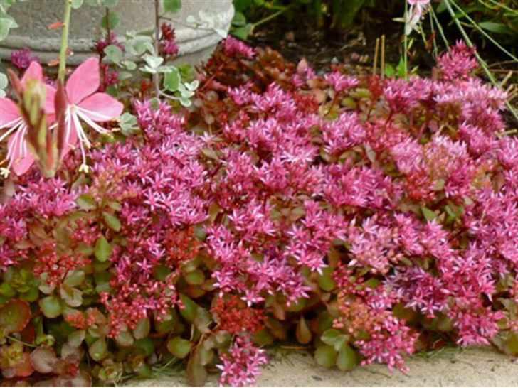На садовом участке плотные, низкорослые кусты пурпурного очитка садоводы используют как естественную невысокую изгородь для разграничения зон участка.