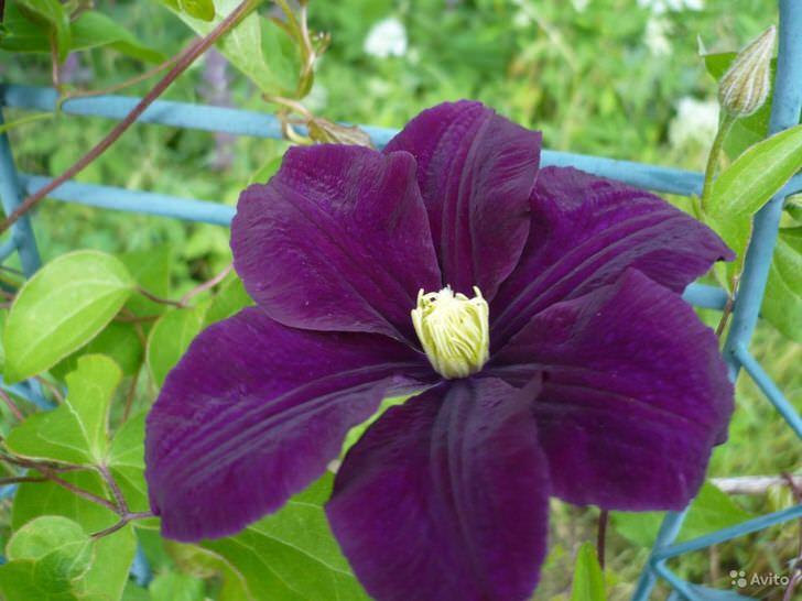 Бархатный тёмно-фиолетовый цветок клемантеса Варшавская ночь.