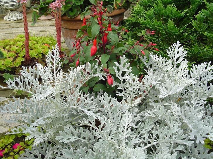 В ландшафтном дизайне серебристые кусты цинарариии используются как живой бордюр и обрамляющий фон для более ярких цветов.
