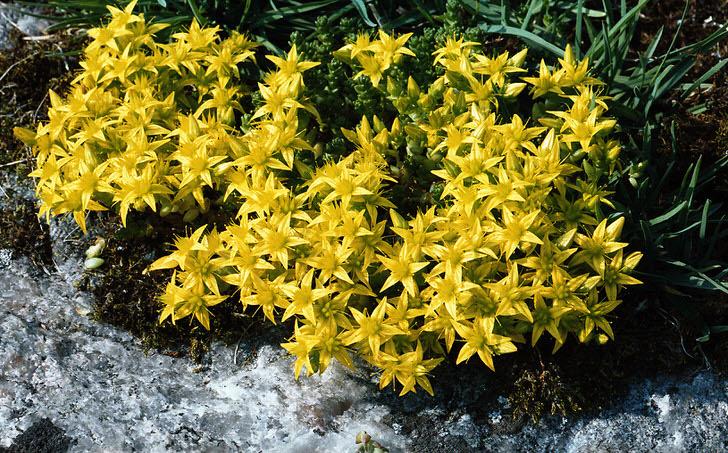 Ярко жёлтые соцветия одного из видов семейства декоративного кустарника очиток едкий.