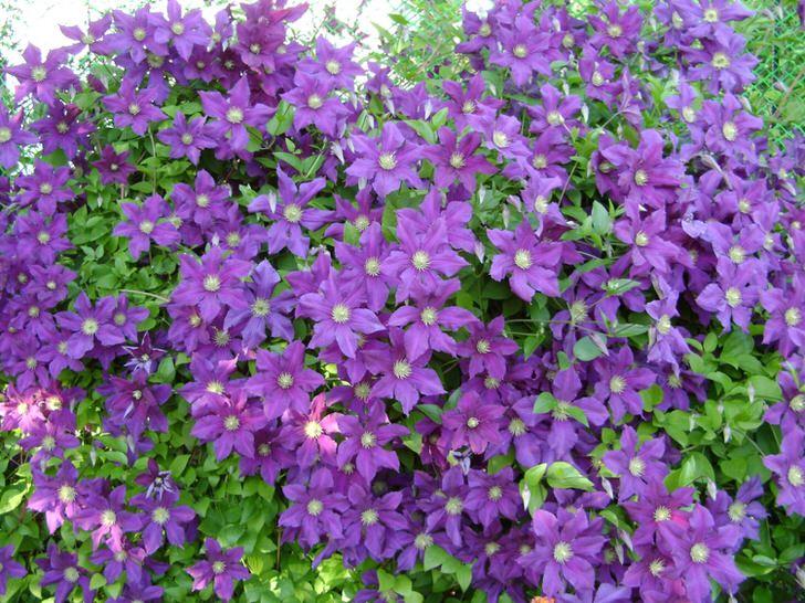 Знатоки декоративных кустарников советуют начинать оформление сада с неприхотливого в выращивании и уходе клемантеса