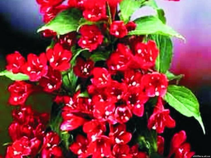 Цветы вейгелы гибридной Ева Ратке.