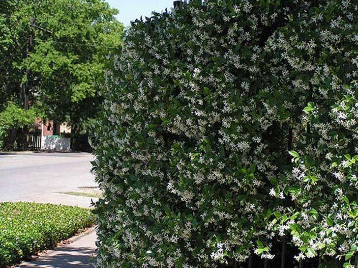 Благоухающий жасмин в южных областях России цветёт с апреля до сентября, сбор цветов начинают в июле до начала осени.