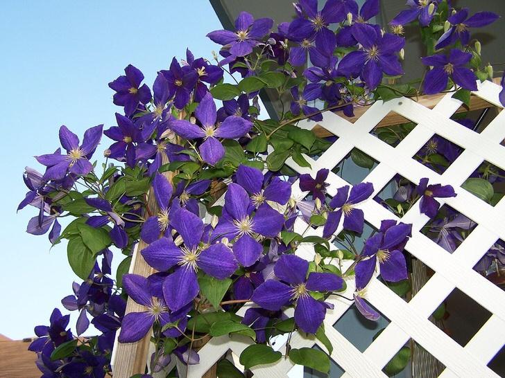 Растение климатес или ломанос (полезешь в куст и сломаешь нос) из семейства Лютиковых может быть вьющимся или кустовым.