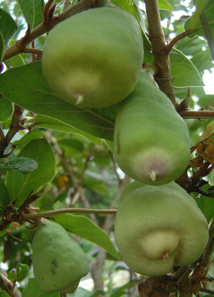 Плоды карликового фикуса.